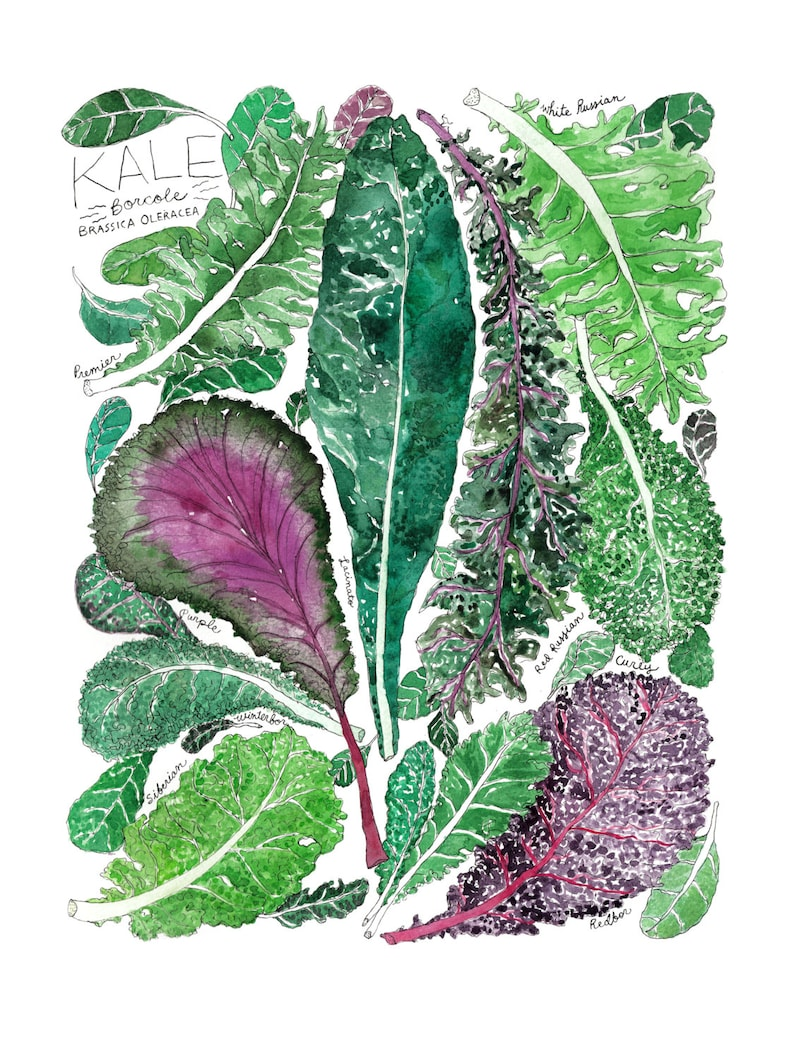 "Types of Green and Purple Kale Watercolor Art Print / Garden Unframed 9x12"" Print"