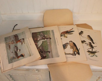 Birds of New York Collection, 105 Antique Prints