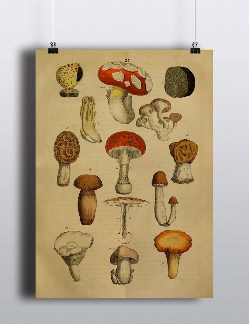 Antique 1800s Mushroom Botanical Print Poster Art Print image 0