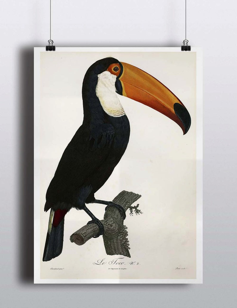 Antique Toucan Art Print Poster Antique Bird Prints Wall Decor image 0