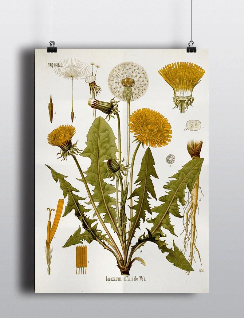 Antique Dandelion Flower Botanical Science Chart Illustration image 0