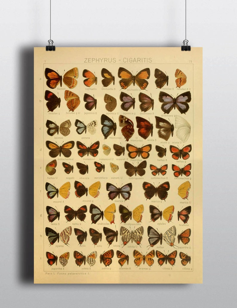 Antique 1800s Butterfly Science Chart Poster Art Print image 0
