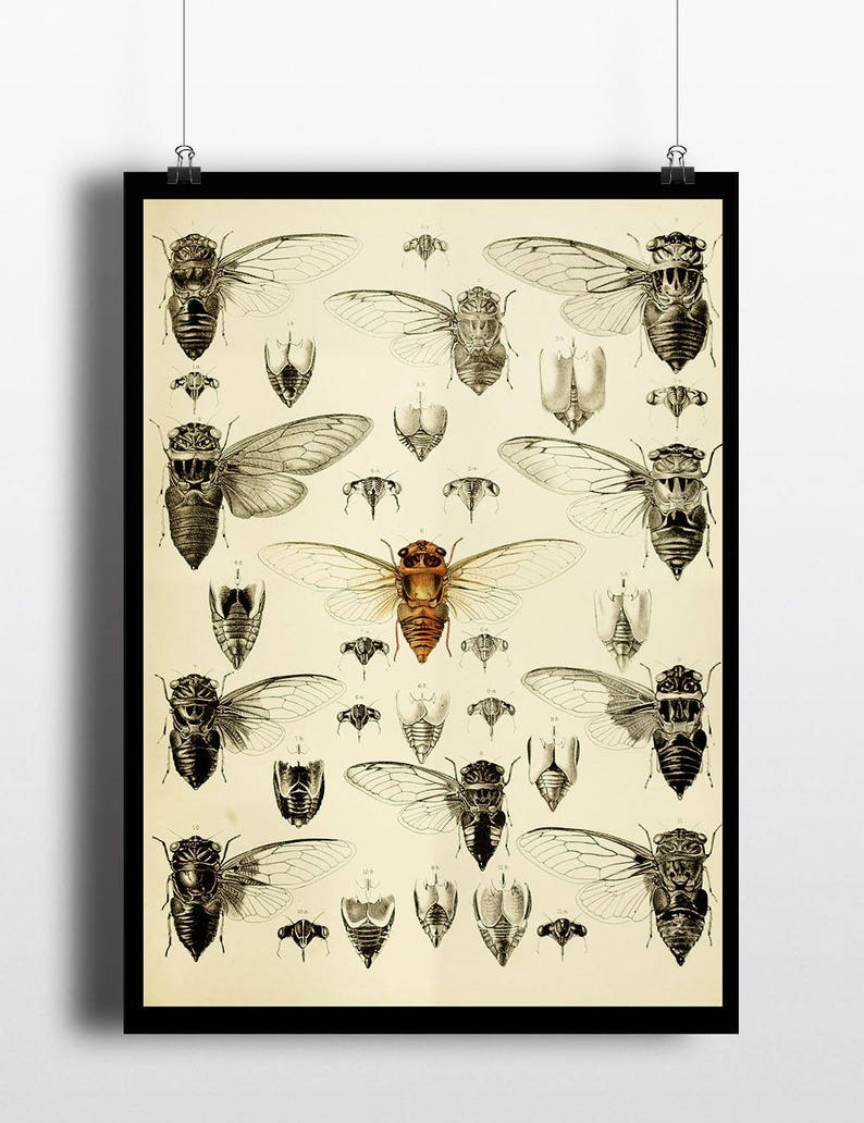 Antique Illustration Cicada Insect Print Insect Art Prints image 0