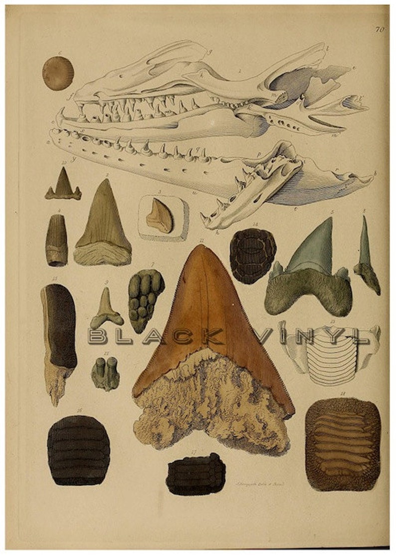 Antique Shark Teeth Fossils Shark Print Science Chart Vintage Etsy