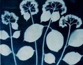 Hydrangea prints. Cyanotype. Width 22,2 in,  Height 22,2 in.
