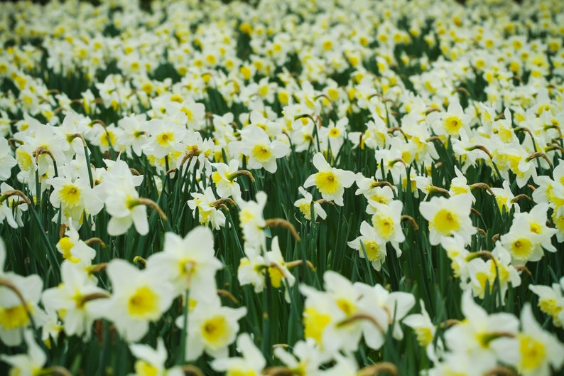 Spring in Paris a sea of daffodils by Falling Off Bicycles image 0
