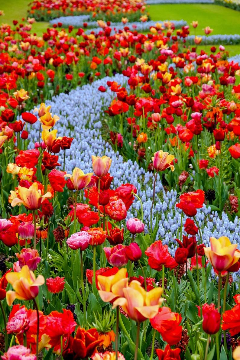 River of flowers at Keukenhof during Spring in Amsterdam image 0