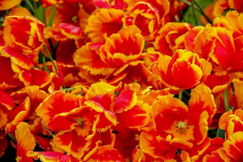 Fallen orange tulips during Spring in Amsterdam photo fine image 0