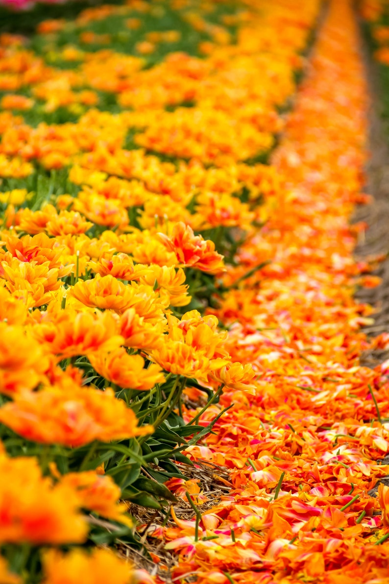 Fallen orange and yellow tulips during Spring in Amsterdam image 0