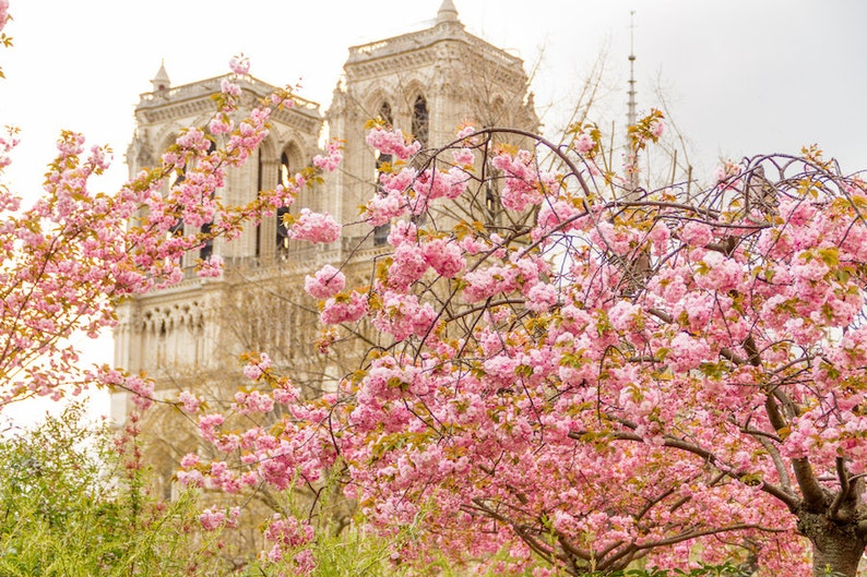 Paris flower photo spring photography cherry blossoms Notre image 0