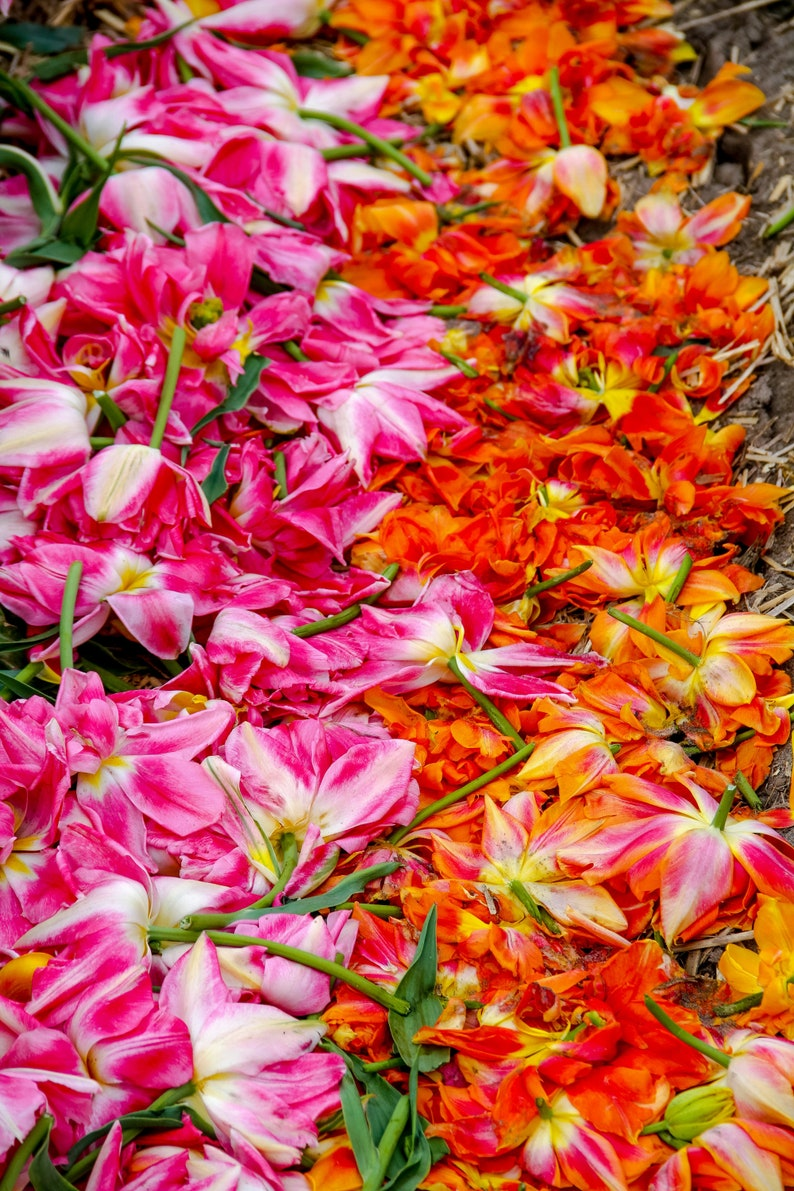 Fallen orange and pink tulips during Spring in Amsterdam image 0