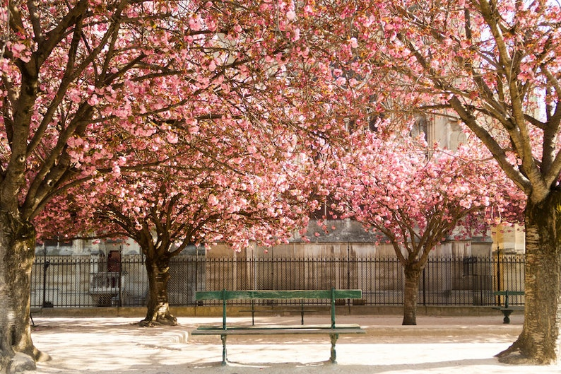 Paris flower photo spring photography cherry blossoms fine image 0
