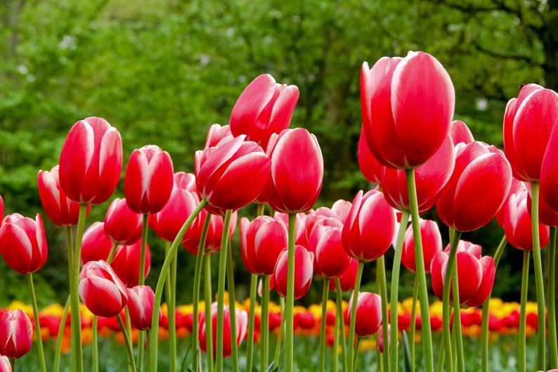Amsterdam photo red tulips during Spring in Amsterdam photo image 0