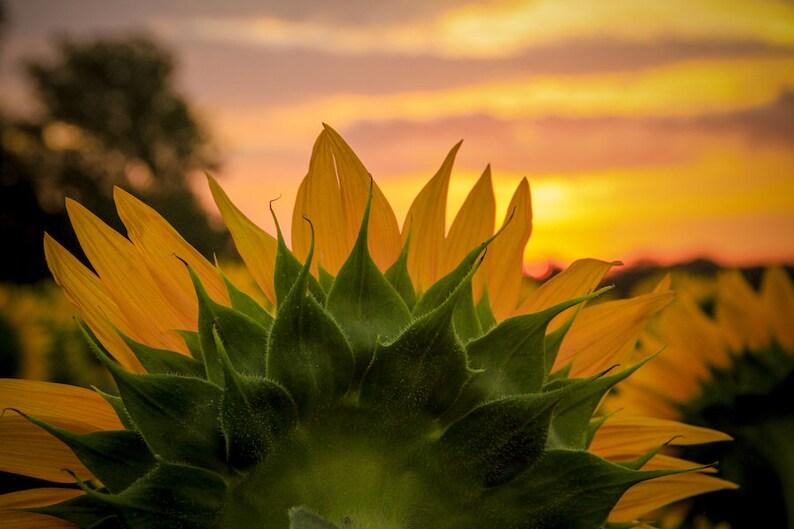 Kansas sunflower photo fine art flower photography wall image 0