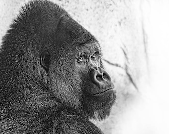 Black and White Gorilla Photo, black and white, fine photography prints, Gentle Giant