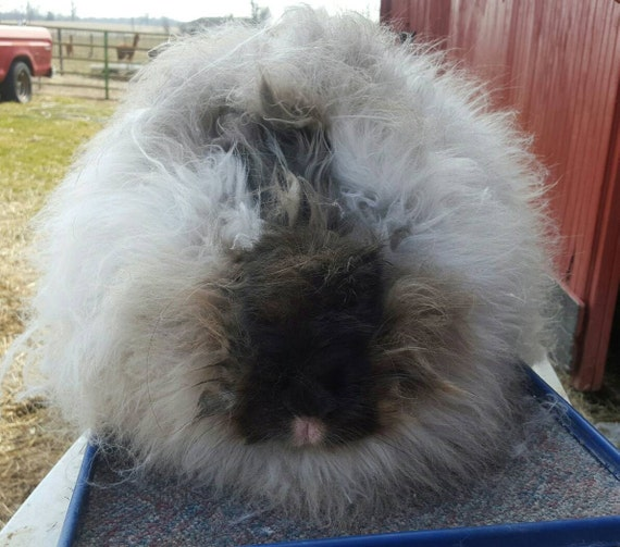 giant angora wool sable color 3 5 length sold by the etsy
