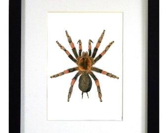 ARTWORK Red-Knee Tarantula Prints, Tarantula mount art, Mounted Spider Art, Framed Spider Art, Framed Specimen, Framed Tarantula