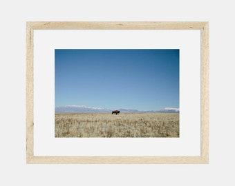Photographic Print | Bison