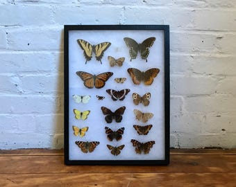 large real butterfly moth insect speciman collection entomology vintage wall hanging display glass box shadowbox biology science taxidermy