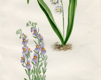 Antique Original Hand Colored Bookplate Chromolithograph Print Alpine Flower by David Wooster 1872 Plate XXIX Linaria Alpina