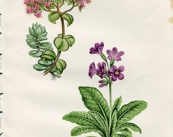 Antique Original Hand Colored Bookplate Chromolithograph Print Alpine Flower by David Wooster 1872 Plate XXX Sedum Ewersii