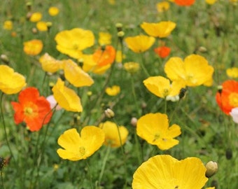 Golden Poppies - Beautiful California Poppies - Fine Art Print Ready to Frame