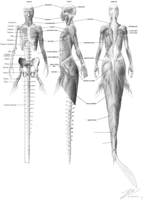 Meerjungfrau-Anatomie-Bundle Skelett Englisch & Muskulatur | Etsy