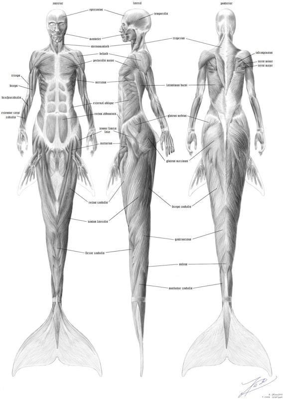 Meerjungfrau-Anatomie Muskulatur   Etsy