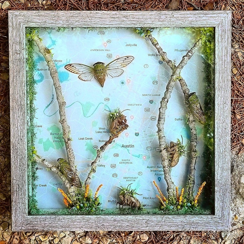 3 Cicadas and Shells with Austin Map Gray Shadow Box Frame Superb Green Cicada Unique Art Insect Art Original Wall Decor Map of Texas