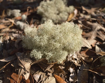 All Natural Unaltered Deer Moss Lichen