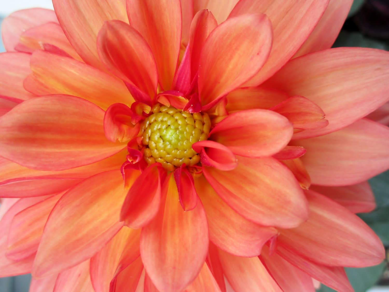 8x10 dahlia flower photo orange and pink flower bloom macro etsy image 0 image 1 izmirmasajfo