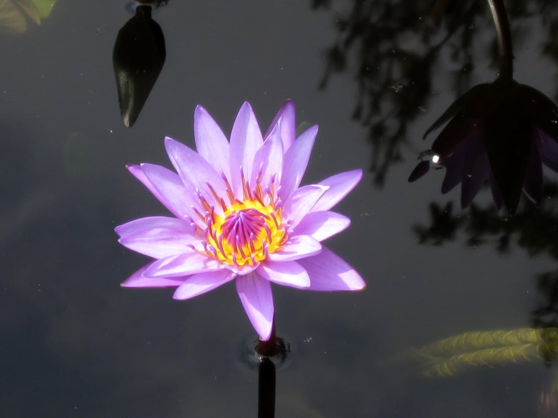 Purple Water Lily 8x10 Photo Lotus Flower Print Modern Wall Etsy