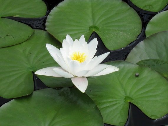 White Water Lily 8x10 Photo Lotus Flower Print Modern Wall Etsy