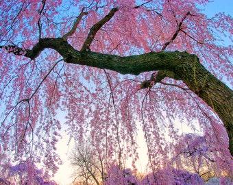 Cherry Blossom Photography, Cherry Blossom Art, Pink Wall Art, Cherry Blossoms Picture, Spring Photography, Sakura Flower Photo