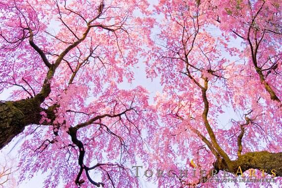 Cherry Blossom Photography Cherry Blossom Art Pink Wall Art Etsy