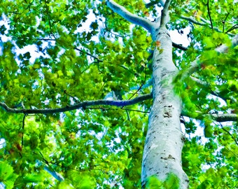 Sycamore, Tree dancing in the Wind, Photograph, Fine Art print, Tree photography