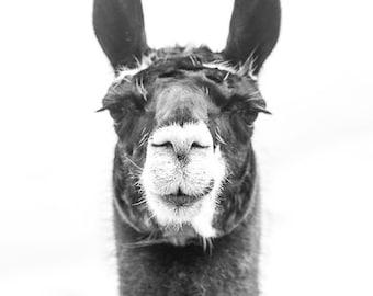 A distinguished Llama photograph