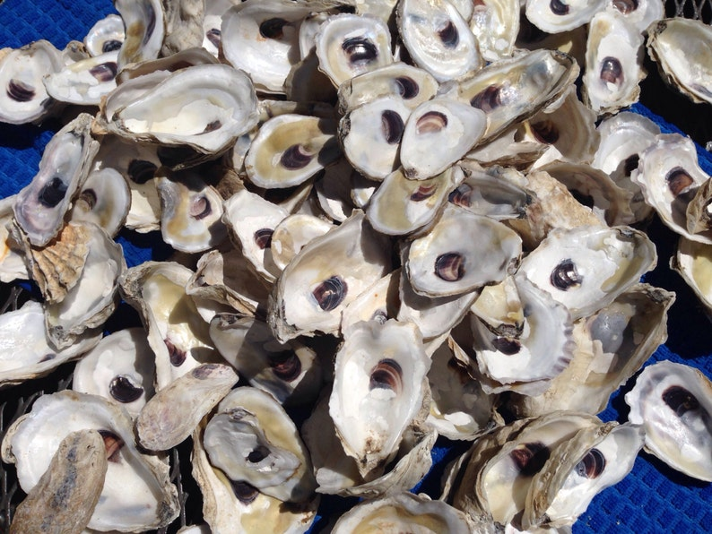 Oyster shells CUPs two dozen CUP side beautiful oyster image 0