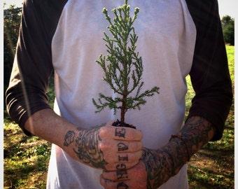 Giant Sequoia | Live Tree Seedling | The Jonsteen Company