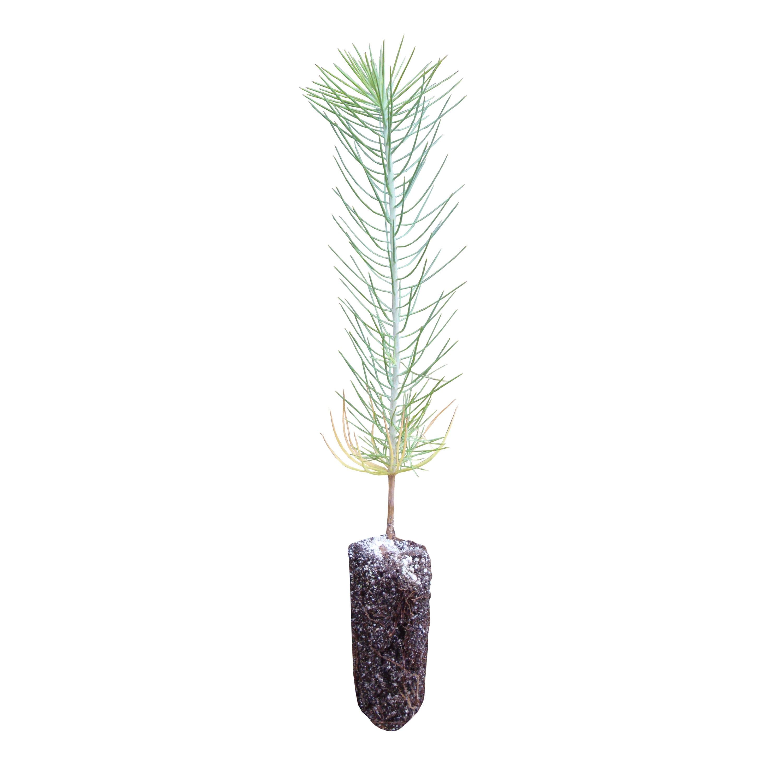 Ghost Pine Live Tree Seedling The Jonsteen Company
