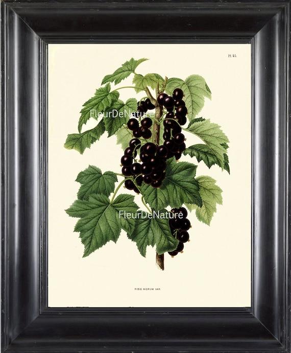 Botanical Fruit Print Wendel Art 31 Beautiful Black Currant Etsy