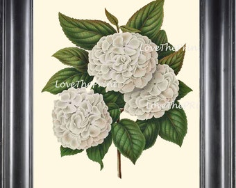 BOTANICAL PRINT WITTE  Botanical Art Print 21 Beautiful White Hydrangea Antique Large Flower Spring Garden Summer Home Decor to Frame