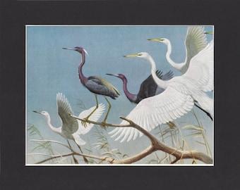 Herons Print - Walter A Weber 1949 - Mounted with Black Mat - Vintage Bird Print - White Herons Picture - Heron Paiinting Print