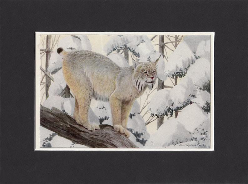 Canada Lynx Print 1916 by Louis Agassiz Fuertes Vintage image 0