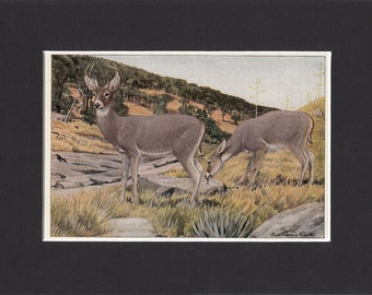 Arizona White Tailed Deer Print 1916 by Louis Agassiz Fuertes Vintage Bookplate Picture with Mat Coues Deer Whitetail Hunting Print