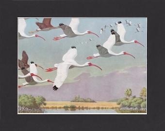 American White Ibis Print - Walter A Weber 1949 - Mounted with Black Mat - Vintage Bird Print - Florida Ibis Picture - Ibis Painting Print
