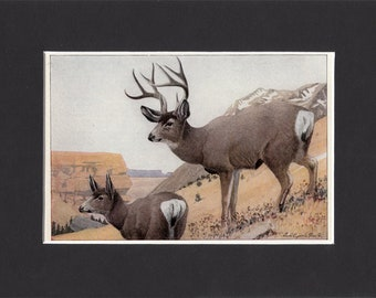 Mule Deer Print 1916 by Louis Agassiz Fuertes Vintage Mounted Bookplate Picture with Mat Black Tailed Deer Hunting Print