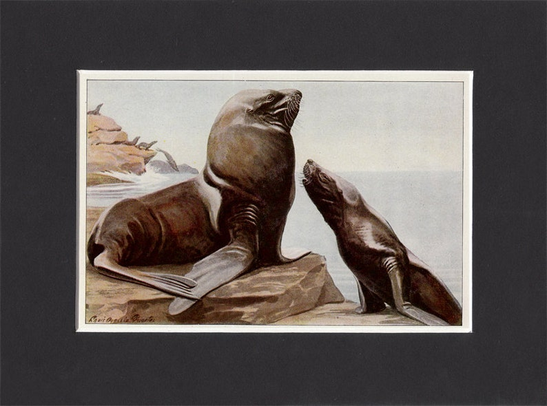 Steller Sea Lion 1916 Signed Print by Louis Agassiz Fuertes image 0