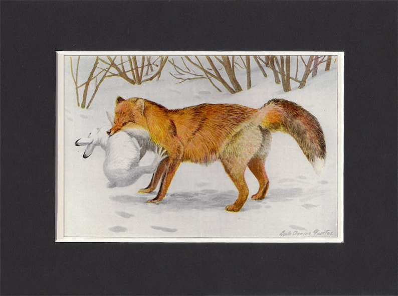 Alaska Red Fox 1916 Print by Louis Agassiz Fuertes Vintage image 0