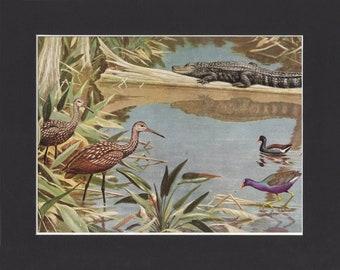 Limpkins Print - Walter A Weber 1949 - Mounted with Black Mat - Vintage - Carrao, Courlan, or Crying bird print - Florida Everglades